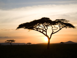 A Acacia Tree in the Serengetti Premium fototryk af Ben Horton
