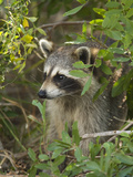 Raccoon (Procyon Lotor) Individual, Florida Fotografie-Druck von Tom Vezo/Minden Pictures