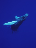 Humpback Whale (Megaptera Novaeangliae), Maui, Hawaii (Photo Obtained under NMFS Permit) Photographic Print by Flip Nicklin/Minden Pictures