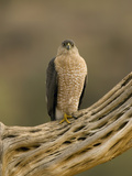 Cooper's Hawk (Accipiter Cooperii) on Saguaro Husk, Green Valley, Arizona Fotografie-Druck von Tom Vezo/Minden Pictures