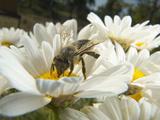 Honey Bee (ApisMellifera), Bee Station, Bavarian Julius-Maximilians-University of Wurzburg, Germany Photographic Print by Heidi & Hans-Juergen Koch/Minden Pictures