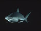 Bull Shark or Lake Nicaragua Shark (Carcharhinus Leucas) Underwater Portrait, North America Photographic Print by Flip Nicklin/Minden Pictures