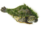 A river cooter turtle collected from a fresh water river sample. Photographic Print by David Liittschwager