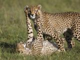 Cheetah (Acinonyx Jubatus) 7 to 9 Month Old Cubs Playing, Masai Mara Nat'l Reserve, Kenya Fotografisk trykk av Suzi Eszterhas/Minden Pictures