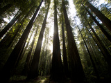 Bull Creek Flats, Home to Many of the Tallest Redwood Trees on Earth Opspændt lærredstryk af National Geographic Photographer