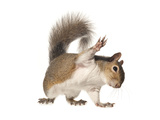 An Eastern Gray Squirrel Photographic Print by David Liittschwager