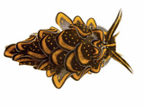 A Sacoglossan Sea Slug Collected from a Sample of Coral Reef