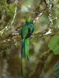Resplendent Quetzal (Pharomachrus Mocinno) Female Perching in a Tree, Costa Rica Reproduction photographique par Tom Vezo/Minden Pictures