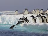 Adelie Penguin (Pygoscelis Adeliae) Jumping Off Iceberg into Icy Water, Paulet Island, Antarctica Reproduction photographique par Suzi Eszterhas/Minden Pictures