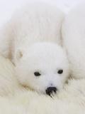 Polar Bear (Ursus Maritimus) Cubs on Top of their Mother, Wapusk Nat'l Park, Manitoba, Canada Photographic Print by Suzi Eszterhas/Minden Pictures