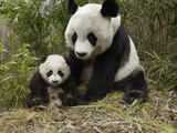 Giant Panda (Ailuropoda Melanoleuca) Mother and Her Cub, Wolong Nature Reserve, China Fotografisk tryk af Katherine Feng