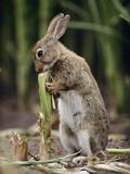 European Rabbit (Oryctolagus Cuniculus) Feeding on Corn Stalk, Germany Photographic Print by Heidi & Hans-Juergen Koch/Minden Pictures
