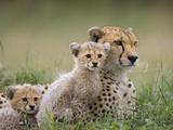 Cheetah (Acinonyx Jubatus) Mother and Eight to Nine Week Old Cubs, Maasai Mara Reserve, Kenya Lámina fotográfica por Suzi Eszterhas/Minden Pictures