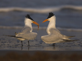 Royal Tern (Sterna Maxima) in Food Exchange Part of Courtship Display, Rio Grande Valley, Texas Fotografie-Druck von Tom Vezo/Minden Pictures