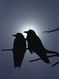 Raven (Corvus Corax) Pair Perching on a Branch, Backlit by Filtered Sunlight Fotoprint av Michael S. Quinton