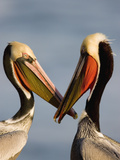 Brown Pelican (Pelecanus Occidentalis) Pair Interacting, California Fotografie-Druck von Tom Vezo/Minden Pictures