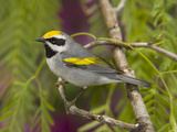 Golden-Winged Warbler (Vermivora Chrysoptera) Male Perched on Branch, Rio Grande Valley, Texas Fotografie-Druck von Tom Vezo/Minden Pictures
