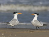 Royal Tern (Sterna Maxima) Pair on Beach, Rio Grande Valley, Texas Fotografie-Druck von Tom Vezo/Minden Pictures