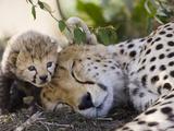 Gepard (Acinonyx Jubatus), mor og syv dager gammel unge, Maasai Mara nasjonalpark, Kenya Fotografisk trykk av Suzi Eszterhas/Minden Pictures