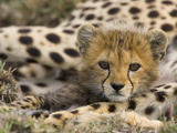 Cheetah (Acinonyx Jubatus) Cub Portrait, Maasai Mara Reserve, Kenya Fotografisk trykk av Suzi Eszterhas/Minden Pictures