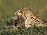Cheetah (Acinonyx Jubatus) Mother Interacting with 8 to 9 Week Old Cubs, Maasai Mara Reserve, Kenya Fotografisk tryk af Suzi Eszterhas/Minden Pictures