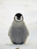Emperor Penguin (Aptenodytes Forsteri) Chick, Antarctica Reproduction photographique par Konrad Wothe