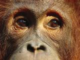 Orangutan (Pongo Pygmaeus) Close-Up, Borneo Fotografisk trykk av Cyril Ruoso