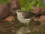 Northern Waterthrush (Seiurus Noveboracensis) Warbler Wading in Water, Rio Grande Valley, Texas Fotografie-Druck von Tom Vezo/Minden Pictures