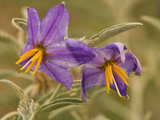 Purple Nightshade (Solanum Xanti) Poisonous Desert Wildflower, Santa Rita Mountains, Arizona Fotografie-Druck von Tom Vezo/Minden Pictures