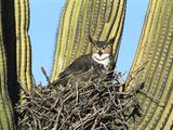 Great Horned Owl (Bubo Virginianus) Nesting in Saguaro (Cereus Gigantea) Cactus, Tucson, Arizona Fotografie-Druck von Tom Vezo/Minden Pictures