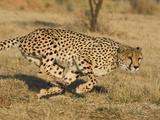 Cheetah (Acinonyx Jubatus) Running, Cheetah Conservation Fund, Namibia Fotografisk tryk af Suzi Eszterhas/Minden Pictures