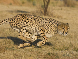 Cheetah (Acinonyx Jubatus) Running, Cheetah Conservation Fund, Namibia Impressão fotográfica por Suzi Eszterhas/Minden Pictures
