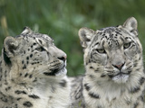 Snow Leopard (Uncia Uncia) Pair Resting Together, Endangered, Native to Asia and Russia Fotoprint av Cyril Ruoso