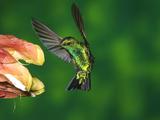 Western Emerald (Chlorostilbon Melanorhynchus) Hummingbird Feeding on Flower, Andes, Ecuador Fotografie-Druck von Tom Vezo/Minden Pictures