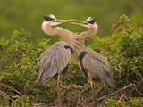 Great Blue Heron (Ardea Herodias) Pair Interacting on Nest in Mangroves, Venice, Florida Fotografie-Druck von Tom Vezo/Minden Pictures