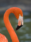 Greater Flamingo (Phoenicopterus Ruber) Portrait, San Diego Zoo, California Fotografie-Druck von Tom Vezo/Minden Pictures