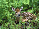 White-Tailed Deer (Odocoileus Virginianus) Fawn Amid Ferns, North America Reproduction photographique par Konrad Wothe