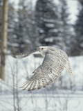 Gyrfalcon (Falco Rusticolus) Adult Female in White Phase Flying, North America Reproduction photographique par Konrad Wothe