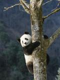 Giant Panda (Ailuropoda Melanoleuca) Climbing Tree, Endangered, Wolong Valley, China Reproduction photographique par Konrad Wothe