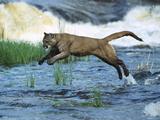 Mountain Lion (Felis Concolor) Leaping across Stream, North America Reproduction photographique par Konrad Wothe