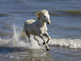 Camargue Horse (Equus Caballus) Running in Water at Beach, Camargue, France Reproduction photographique par Konrad Wothe