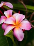 Blossoms of Plumeria, or Frangipani, Cultivated for Lei Garlands Fotografisk trykk av Susan Seubert
