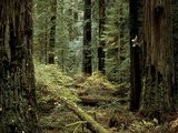Man Climbing a Giant Redwood Tree Fotografisk tryk af Tim Laman