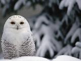 Snowy Owl (Nyctea Scandiaca) Camouflaged Against Snow, North America Fotografisk tryk af Gerry Ellis