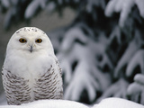Snowy Owl (Nyctea Scandiaca) Camouflaged Against Snow, North America Stampa fotografica di Gerry Ellis