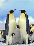 Emperor Penguin (Aptenodytes Forsteri) Parents with Chicks, Antarctica Reproduction photographique par Konrad Wothe