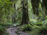 Trail in Forest, Hoh Rainforest, Olympic National Park, Washington Reproduction photographique par Konrad Wothe