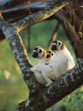 Sifaka (Propithecus Sp) Family Resting in Tree, Threatened, Berenty Reserve, Madagascar Fotoprint av Cyril Ruoso