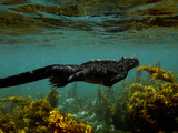 Marine Iguana (Amblyrhynchus Cristatus) Swimming, Fernandina Island, Galapagos Islands Fotografie-Druck von Pete Oxford