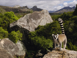 Ring-Tailed Lemur (Lemur Catta), Overlooking the Andringitra Mountains, Madagascar Fotografisk tryk af Pete Oxford